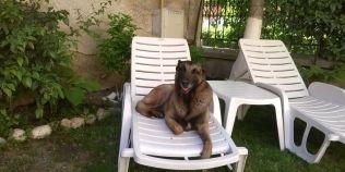 Povestea lui Taz, seful de promotie al cainilor politisti din Brasov. De ce este iubit de oameni si temut de infractori
