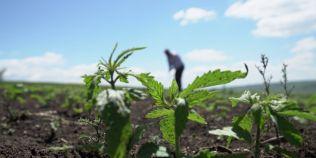 Patria cannabisului in Romania: renasc culturile de canepa in nordul tarii, iar agricultorii castiga sume importante