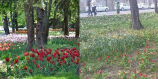 FOTO Imagini dezolante intr-un parc modernizat cu bani europeni. Lalele superbe, inghitite de buruieni