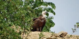 Aparitie senzationala: Un vultur plesuv sur a fost vazut in Orsova